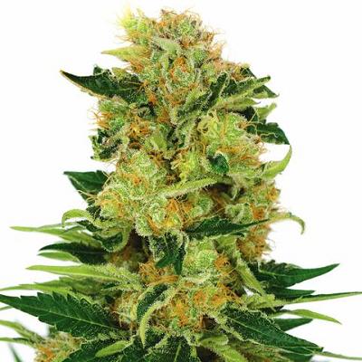Buy Pineapple Haze Marijuana Seeds