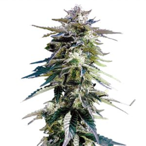 Buy Purple Haze Marijuana Seeds