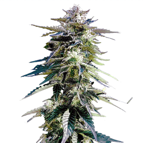 Buy Purple Haze Marijuana Seeds