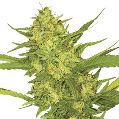 Buy Sour Diesel Seeds