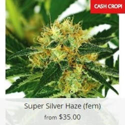 Buy Super Silver Haze Marijuana Seeds
