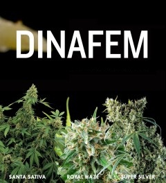 Dinafem Royal Haze Super Sliver Santa Sativa Seeds - BUY NOW