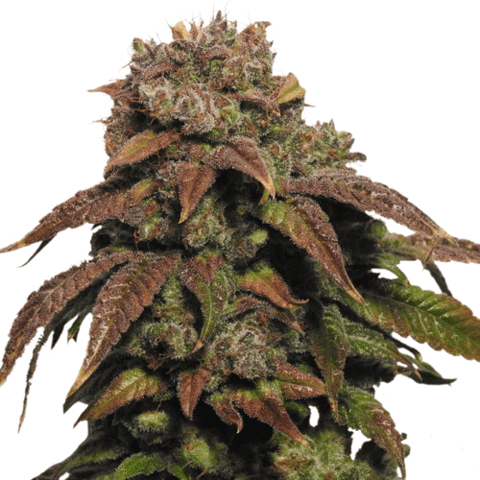 Buy Green Crack Seeds
