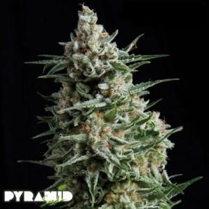 Pyramid Seeds Anesthesia
