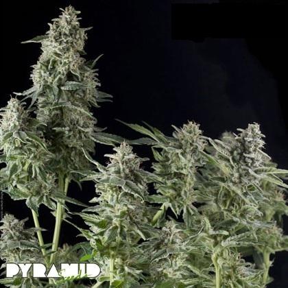 Pyramid seeds northern lights