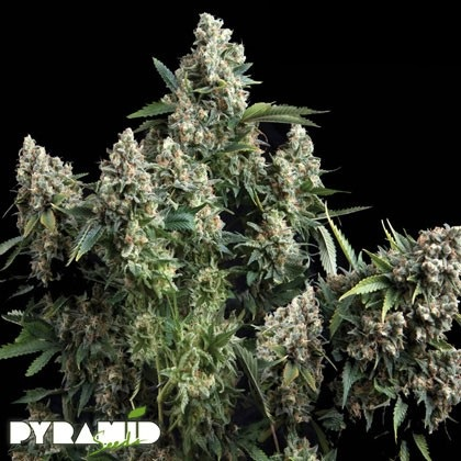 Pyramid Seeds Tutankhamon Review