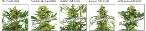 Autoflowering Massachusetts Cannabis Seeds