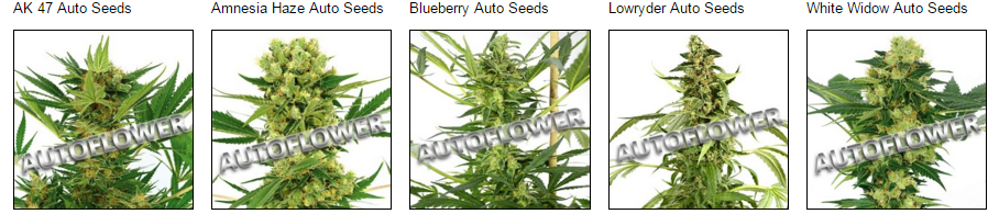 Autoflowering Massachusetts Cannabis Seeds