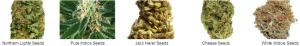 Feminized Colorado Cannabis Seeds