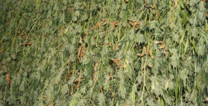 Outdoor Marijuana Seeds Harvest