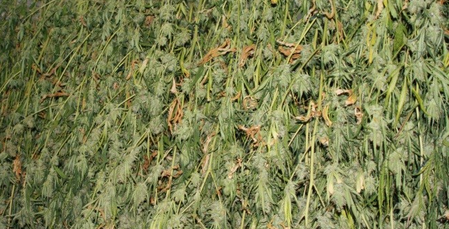 Outdoor Marijuana Seeds Harvest