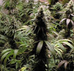 Outdoor Marijuana Seeds Indica