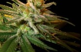 DNA Genetics Seeds LA Confidential