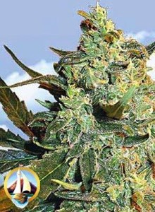 Flying Dutchmen Seeds Power Skunk Super Skunk Seeds