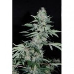 Power Plant Seeds Pipi by Pyramid Seeds