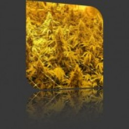 Power Plant Seeds by Nirvana Seeds
