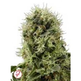 Power Plant Seeds by Sensi Seeds White Label