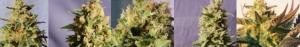 Marijuana Seeds in Bulk From Kannabia