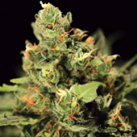 Medical Marijuana Seeds For Pain Relief