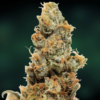 Medical Marijuana Seeds Highest THC Levels