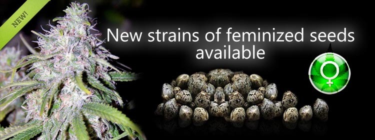 Buy Feminized Marijuana Seeds At The Lowest Prices Online Here