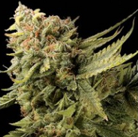 Citrus Feminized Marijuana Seeds