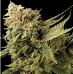 Cup Winning Single Cannabis Seeds For Sale