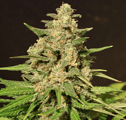 Cream Of The Crop Seeds - Hybrid X