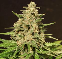 Cream Of The Crop Seeds - Hybrid X