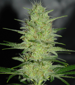 Cream Of The Crop Seeds - Pretty Lights