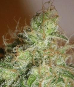 Cream Of The Crop Seeds - White Chronic
