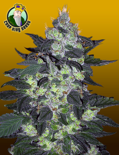 Candy Cane Cannabis Seeds