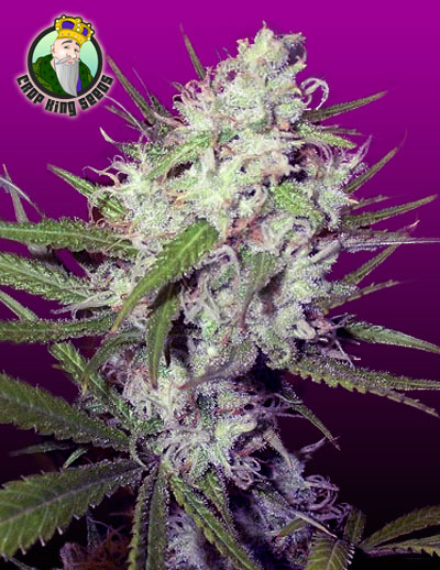 Dark Angel Cannabis Seeds