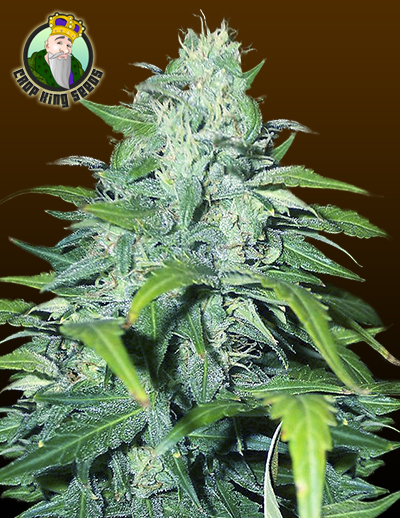 Dwarf Low Flyer Auto Seeds