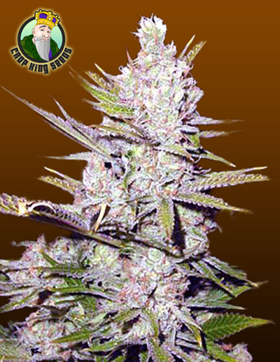 Haze Xtreme Cannabis Seeds