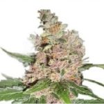 Blue Dream Marijuana Seeds Shipped To The USA