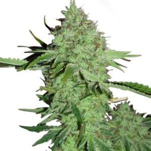 Crystal Marijuana Seeds
