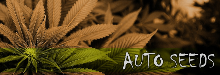 Buy Feminized Auto Flowering Seeds Online