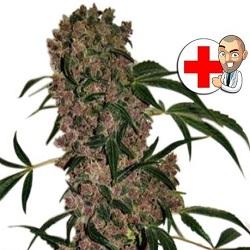Girl Scout Cookie Marijuana Seeds