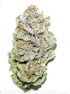Super Silver Haze Marijuana Seeds USA