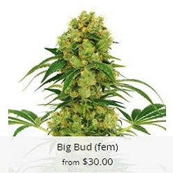 Buy Big Bud Cannabis Seeds