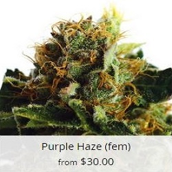 Buy Purple Haze Cannabis Seeds