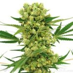 Amnesia Haze Marijuana Seeds Shipped To The USA