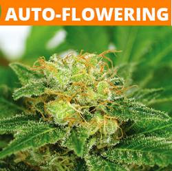 Autoflowering Marijuana Seeds - Click Here