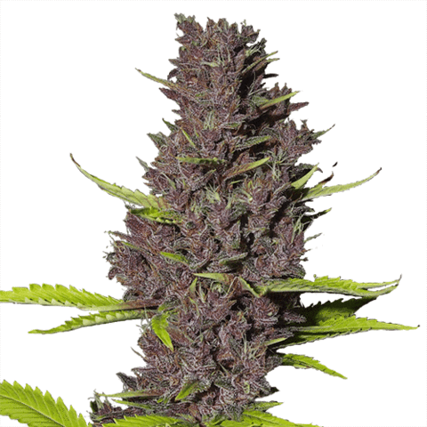 Blue Dream Marijuana Seeds