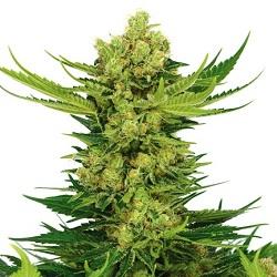 Cheese Marijuana Seeds