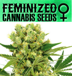 Feminized Marijuana Seeds - Click Here