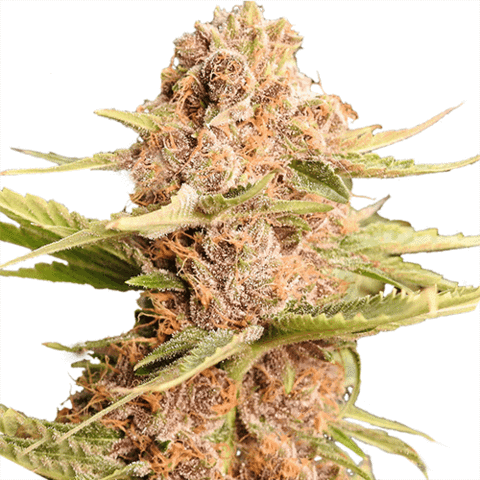 Girl Scout Cookies Marijuana Seeds