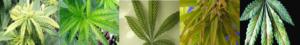 Nutrient Deficiencies In Marijuana Plants
