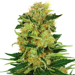 Pineapple Haze Marijuana Seeds